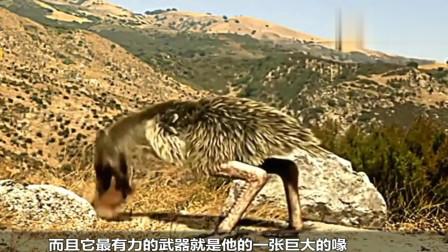 科学探索: 鸵鸟是体型最大的鸟吗? 6200万年前, 它
