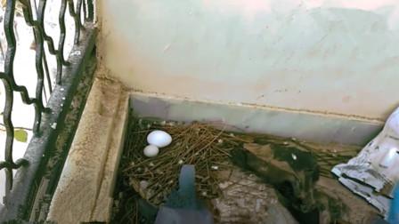 小伙把鸡蛋放进鸽子窝里, 想看看鸽子啥反应, 最后鸽子的反应让人意想不到!