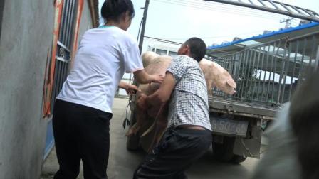 小乔家又卖猪了, 卖猪时发生了什么? 爸爸和小乔连忙冲上去