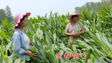 一场暴风雨后, 家里的玉米地成了这样, 看把农村妈妈急的!