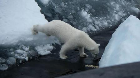 核潜艇浮出冰面扔垃圾 好奇北极熊爬上去寻找食物