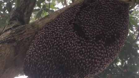 """厉害! 巨型蜜蜂在蜂巢上用""""波浪舞""""赶走捕食者"""