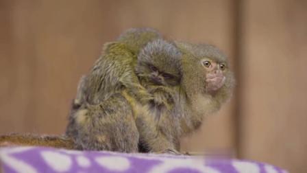 美猴王的兄弟拇指猴, 只有我们拇指般大小, 这么小的猴子真的存在吗?