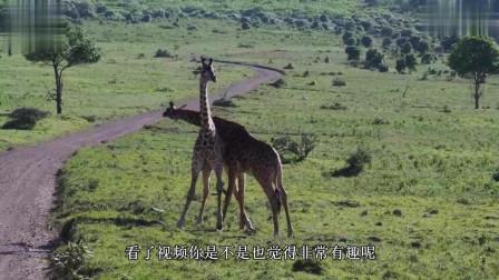 两只长颈鹿打架, 这么长的脖子丝毫不妨碍它们的进攻, 看看它们的招数吧