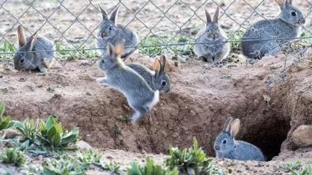 澳洲100亿只野兔泛滥成灾,政府束手无策!吃货:这就是天堂!