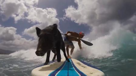 """小猪掉进池塘展示了游泳天赋后 主人将其训练成""""冲浪运动员"""""""