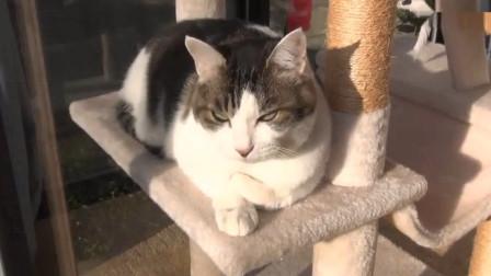 猫老大吃饱喝足, 晒着太阳全身轻松, 趴在猫架上昏昏欲睡