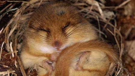 世界上最惨的动物, 5年生命4年半在睡觉, 睡过头就把自己饿死了!