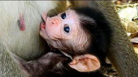 猴宝张大嘴巴喝奶, 贪婪地想把奶一次性喝到肚里