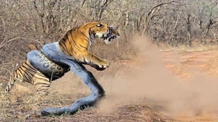 老虎大战蟒蛇, 惨被缠住, 镜头拍下全过程!