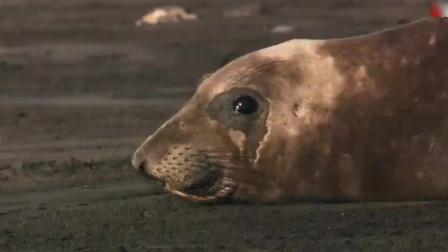 公海豹海边打斗称霸 为了雌性打得全身是伤