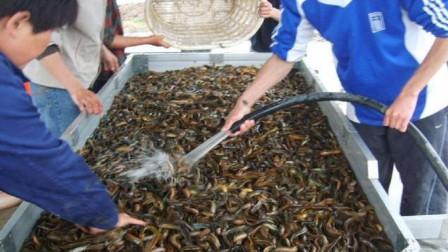 农村田里的黄鳝泥鳅都是从哪来的?为什么每年都有,看完不得不服