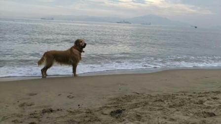 探秘厦门最红金毛犬,竟在海边捡了5年垃圾,被称最萌环卫工