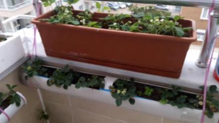 牛人利用废旧材料制作精美花盆,在阳台上种植草莓