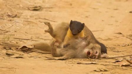 野生小貂攻击猴子,一口咬住猴子脖子,镜头拍下全过程!