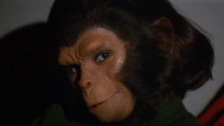 奇葩的奖励制度,有能力的黑猩猩,才能与这只母猩猩配种
