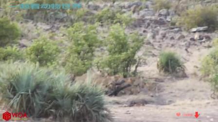 【动物世界 动物大全 狗狗猫猫】Amazing Buffalo Rescue Baby