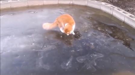 猫咪看到冰下的鱼,兴奋的上了冰之后,用小猫爪子摸鱼吃