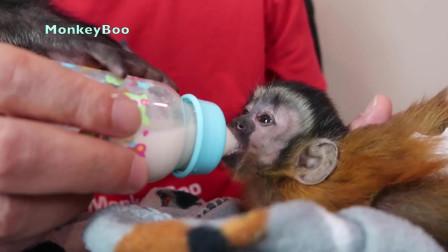 主人喂小猴奶, 注意小猴子的表情, 看完千万别笑!