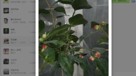 发图问一木第7期:琴叶榕叶子掉光了还会发芽吗?