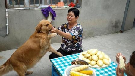农村妈妈做玉米馒头, 让金毛猜在哪个手里, 狗狗表现让网友很意外