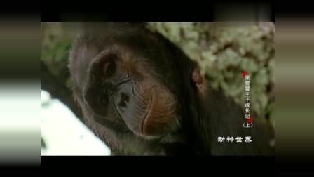 家族里一只公猩猩发情了,但首领才有交配权,它只能对着树干撒气