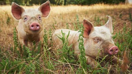 农村养猪过程中猪舍设计的基本原则有哪些细节注意
