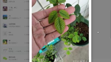 养花问一木第8期:榕树盆景这样掉叶正常吗?