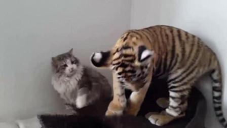 老虎舔了猫咪一下,猫咪直接一记九阴白骨爪,挠的老虎怀疑虎生!