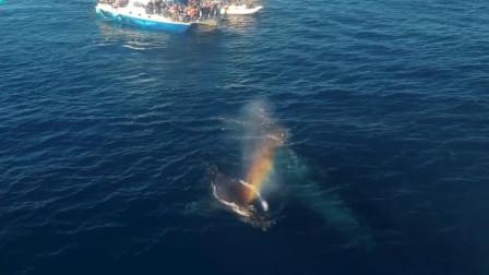 罕见!座头鲸母子双双喷出彩虹