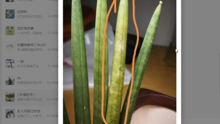 养花问一木第9期:棒叶虎尾兰叶片变黄?