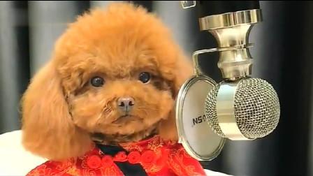 泰迪妞妞气势十足,准备唱歌了,下一秒,你们忍住别乐