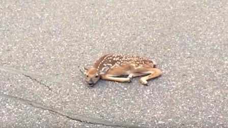一只小鹿趴路中间,老外赶紧上前抱起,鹿:宝宝摔倒了,扶不扶!
