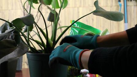 趁这个季节,我给龟背竹换个大花盆