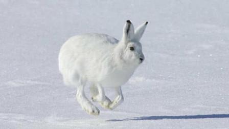 世界上最萌的兔子:跑100米只要5秒,最高时速可达64公里