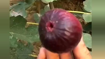 风味人间:这种果子有没有见过?香味十分浓烈哟