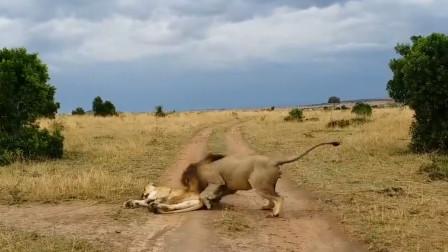 狮子千万别这样叫醒你的女朋友...