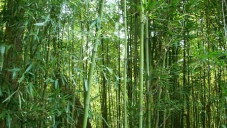 为什么农村人都说,竹子开花就要立马搬家?看完才知道影响那么大