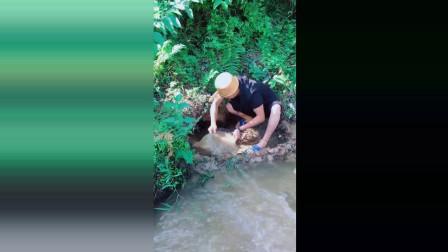 排水捉甲鱼, 这就是一个农村小伙子的乐趣!