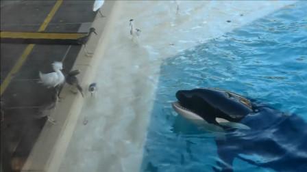 虎鲸吐出小鱼给海鸟吃,本以为它是好心,谁知意外就发生在下一秒