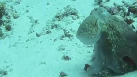 这章鱼变身能力太厉害了,怎么实现的?章鱼通过改变身体颜色与其环境融合的速度