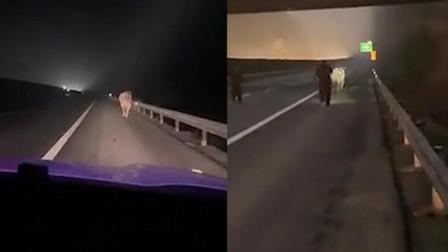 """""""牛魔王""""高速公路作乱 民警驱赶无效击毙"""