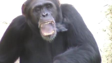 大猩猩吸烟成瘾,每天至少一包,都是游客惹的祸!