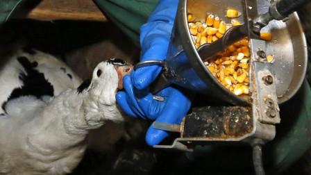 欧洲人最爱的鹅肝,制作方式极其残忍,禁止销售后被法国人反对!