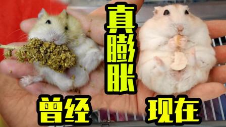 一只吃空气长大的胖布丁仓鼠,十只布丁九个胖,还有一只特别胖