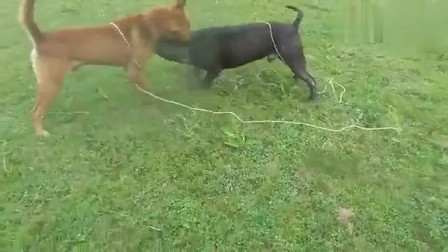 农村斗狗:土狗大战比特犬,土狗34斤比特60斤,却打得不相上下