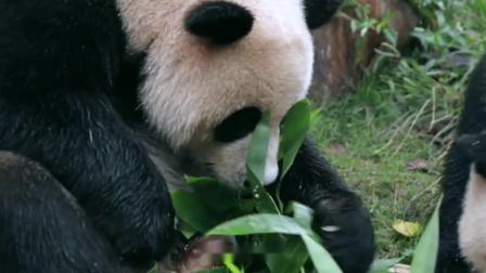 饲养员为熊猫宝宝准备生日蛋糕,这吃相也太可爱了!