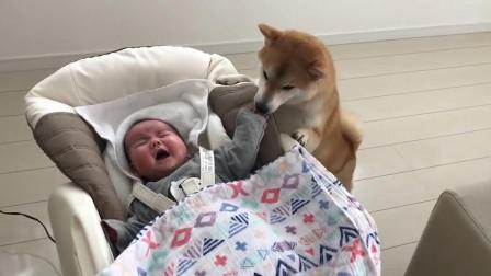 宝宝哭个不停,边上秋田急的赶紧来哄,挨着宝宝安慰起来,好贴心