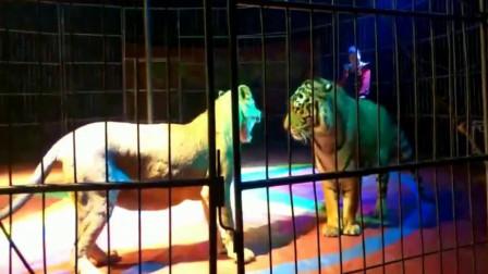 老虎狮子又打起来了, 看这情况应该是老虎要赢了, 狮子太怂了