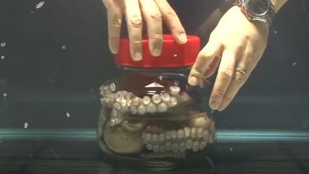 把章鱼装进瓶子里,看看章鱼是怎样死里逃生的?镜头拍下全过程